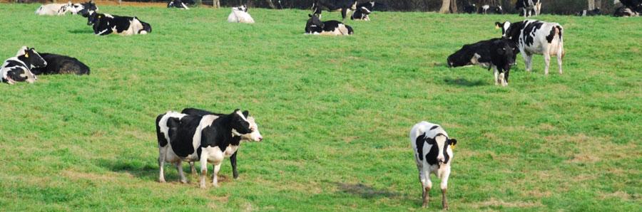 prado con vacas de leche, certificación sector primario